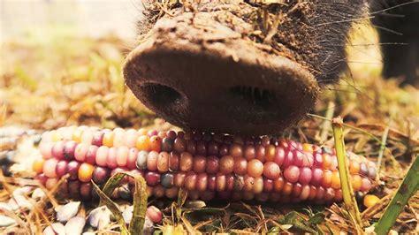Alat Tes Jagung mutiara sebelum babi jagung paling cantik di dunia