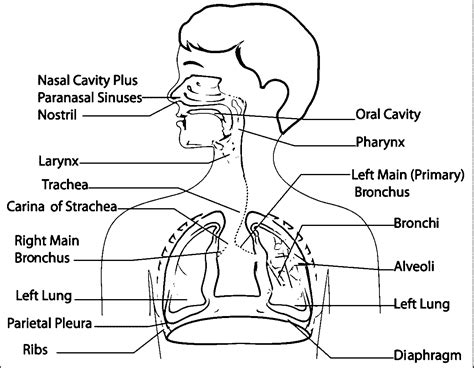 Respiratory System Coloring Page Coloring Home Respiratory System Coloring Page