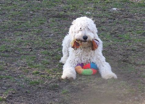 goldendoodle puppy growling all about napa napa s daily growl