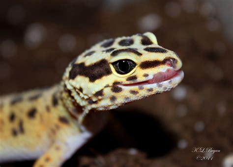 Heat L For Leopard Gecko by Leopard Gecko By Klbryanphotography On Deviantart