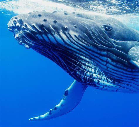 whale eye tofua a seeing eye to eye with humpback whales in tonga