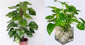 best indoor plants for oxygen 3 best indoor plants that purifies house air quality for oxygen