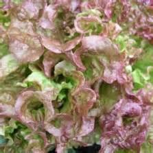 Bibit Bunga Dianthus Carpet 50 Butir Benih bibit alyssum pastel carpet