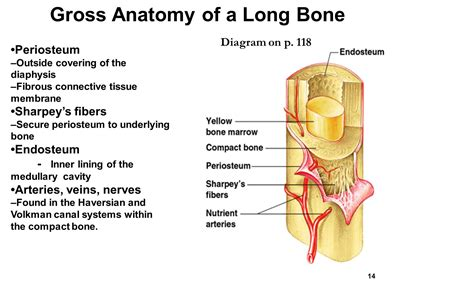 Gross Anatomy Of Typical Long Bone