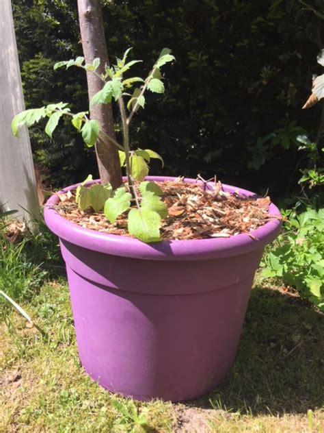Planter Tomates En Pot by Planter Ses Tomates En Pots