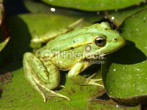 imagenes de ranitas verdes rana verde foto de stock thinkstock