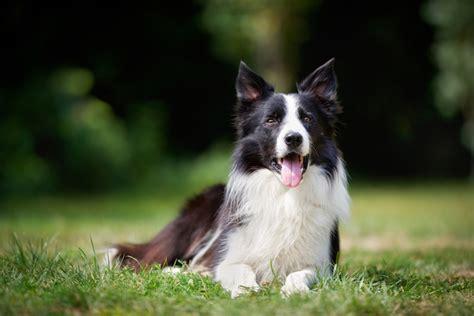 service breeds top 10 service breeds