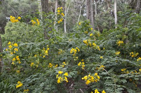 yellow flower shrubs shrub with green leaves and yellow flowers clippix etc