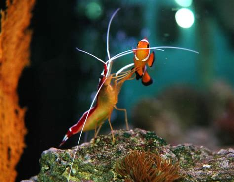 world s tiniest janitor cleaner shrimp