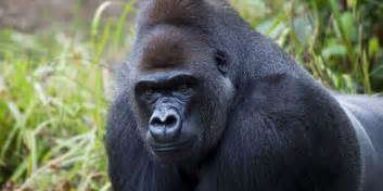 Gorilla gorillas love and acts of service huffpost