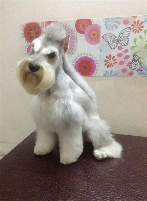 mini schnauzer haircut styles best 25 schnauzer grooming ideas on pinterest miniature