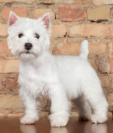 white puppy breeds 14 favorite white breeds west highland white terrier