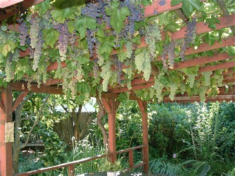 Garden Arch For Grapes Grapes Are Not Just For The Garden Anymore See How To Use