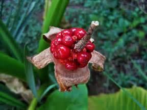 alocasia plante oreille d 233 l 233 phant plantation culture
