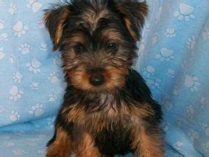 silky terrier puppies in missouri