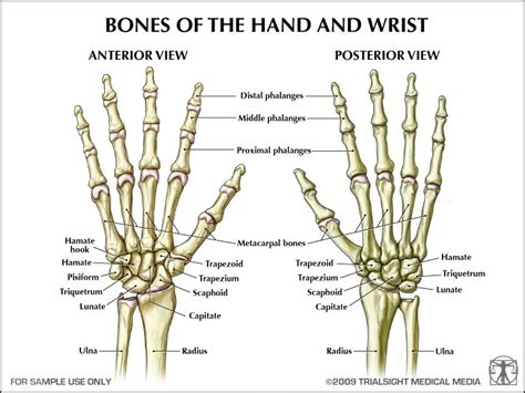 human wrist diagram human bones anatomy references for artists
