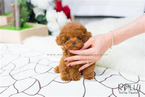 rolly teacup puppies for sale bridget poodle rolly teacup puppies