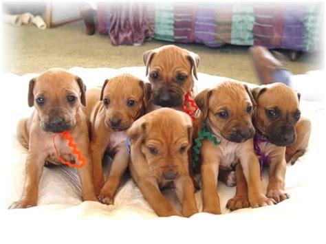rhodesian ridgeback puppies rhodesian ridgeback dogs