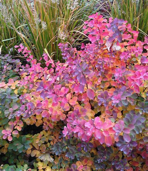 Garden Bushes With Flowers Tor Birchleaf Spirea Garden Landscape Shrubs