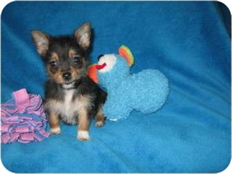 teacup yorkie pomeranian mix teacup pomeranian yorkie mix