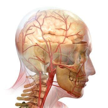 das nervensystem des menschen   gehirn, zns, rückenmark