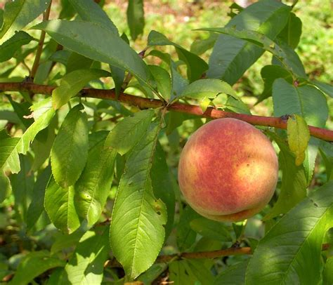State Flower by Prunus Persica Peach Go Botany