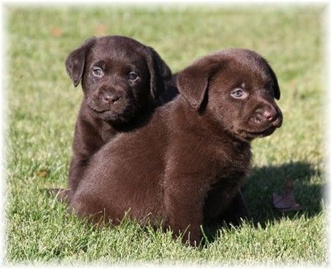 maine lab puppies welcome to puddleduck retrievers morrill maine get a maine black labrador yellow