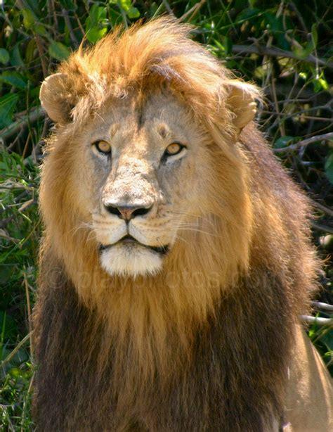 lion print lionaid tomorrow we acknowledge world lion day news