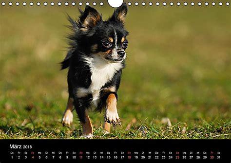 kleine hunde chihuahua kleine hunde ganz gro 223 wandkalender 2018 din