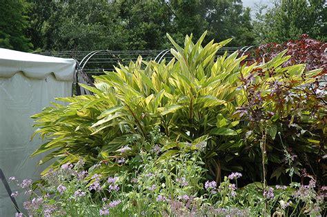 variegated shell ginger alpinia zerumbet variegata