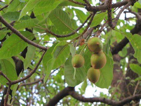 of tree gifting trees madhuca the honey tree