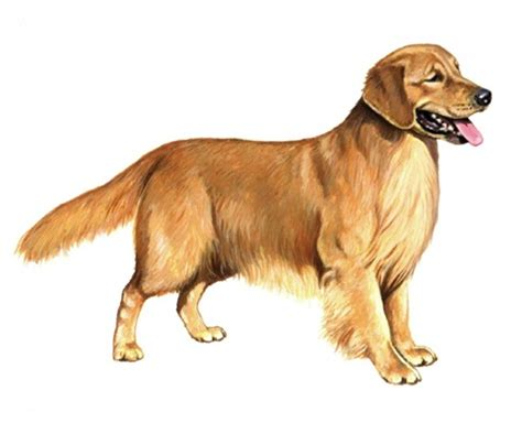 golden retriever age calculator golden retriever pedigree 174