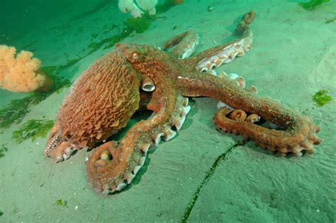 octopi home octopus home giant pacific octopus seattle aquarium blog