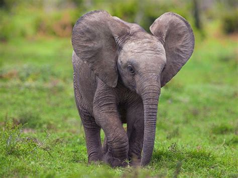 syari eleghant selebrity baby elephant wallpapers wallpaper cave