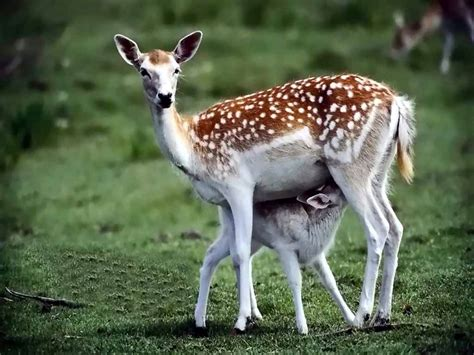 urial wallpapers animals town deer wallpaper and background animals town