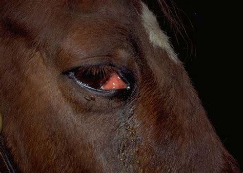 third eyelid third eyelid excision from vetstream definitive veterinary intelligence