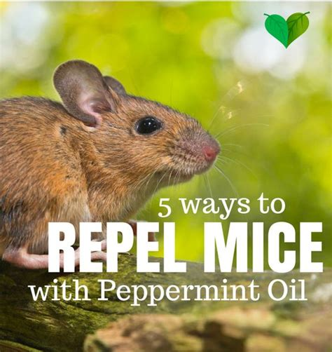 learn how to get rid of mice naturally try this cheap and