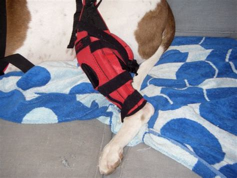 do dogs knees knee brace for acl injury breeds picture