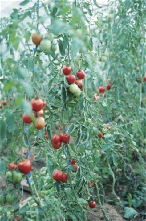 Läuse An Tomaten 5263 by How To Use For Tomato Blight Home Guides Sf Gate