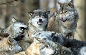 la famille des loups