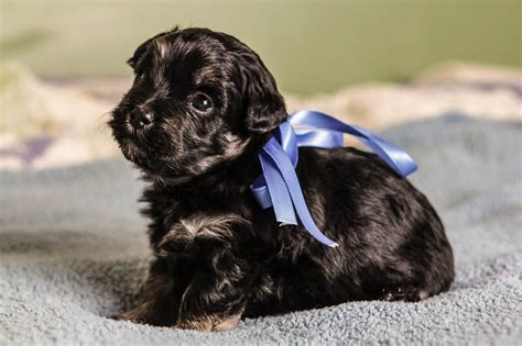 black havanese puppies black and havanese puppies www imgkid the image kid has it