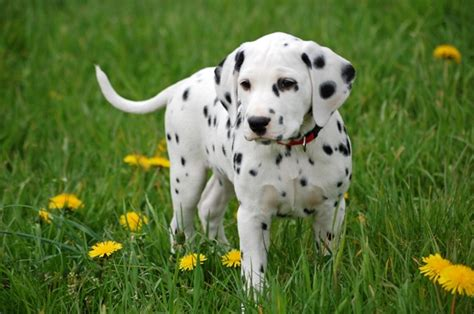Dalmatian Shedding by Dalmatian Dalmatian Pet Insurance Breed Info