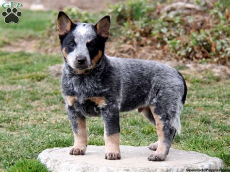 miniature blue heeler puppies for sale near me blue heeler puppies blue heeler australian cattle puppies for sale in pa my