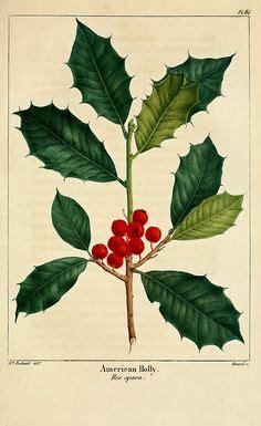 the botanical name of a grrmam christmas tree 1000 images about botanical illustration on botanical illustration botanical