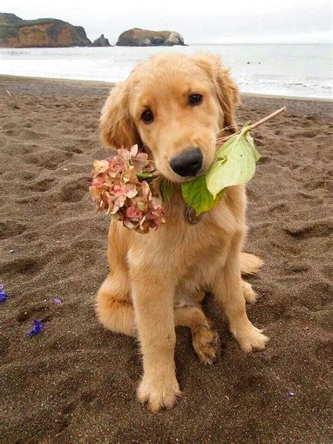 golden retriever puppies greenville sc golden retriever puppy bark busters home greenville sc puppies we