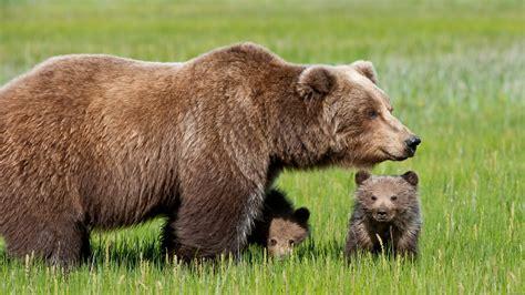 imagenes de osos wallpaper www intrawallpaper com animals page 1