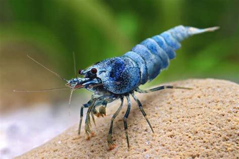Udang Hias Aquascape Aura Blue Shrimp jenis dan harga udang hias air tawar binatang peliharaan