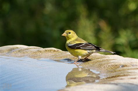 eastern goldfinch flickr photo sharing