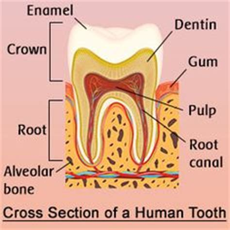 cross section of tooth musculos buscar con google escultura pinterest