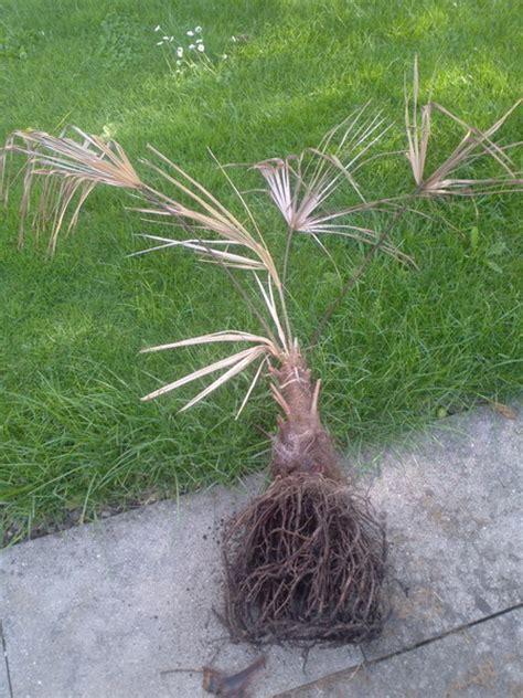 wann kommt meine n chste periode hilfe meine palme stirbt seite 1 frostsch 228 den